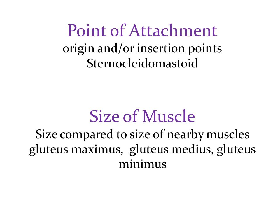 Point of Attachment Size of Muscle origin and/or insertion points
