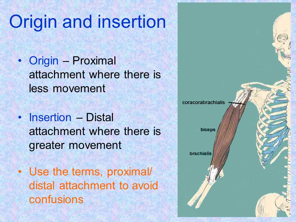 Origin and insertion Origin – Proximal attachment where there is less movement. Insertion – Distal attachment where there is greater movement.