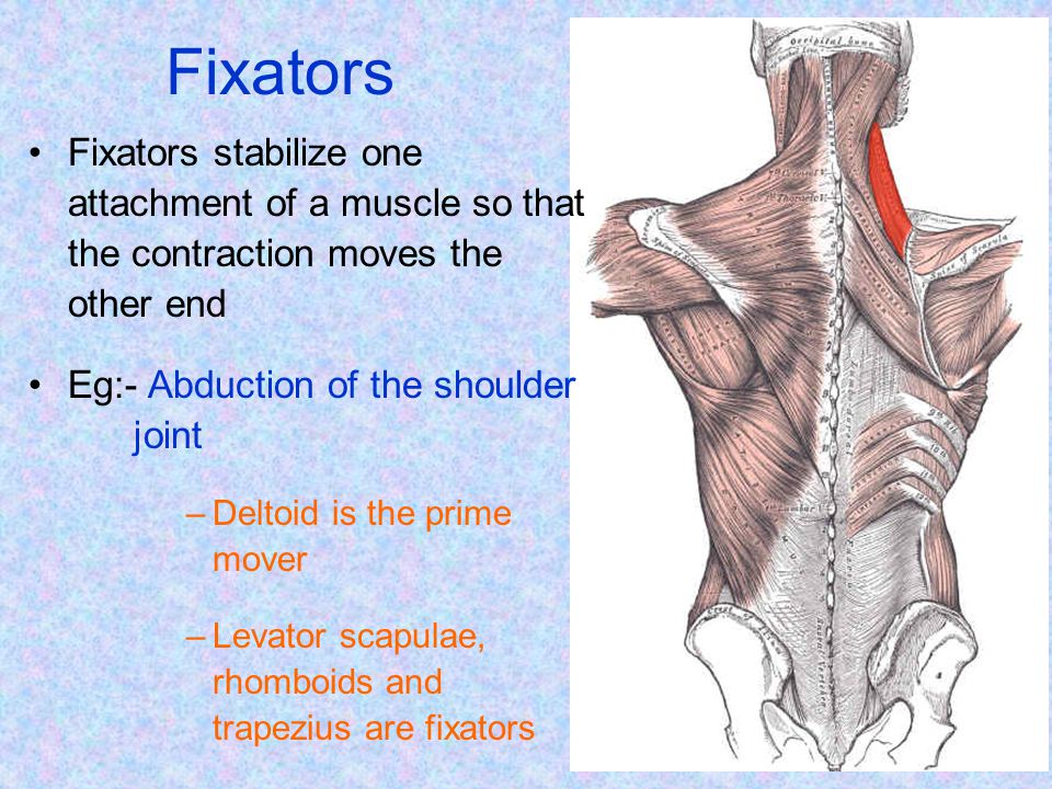 Fixators Fixators stabilize one attachment of a muscle so that the contraction moves the other end.