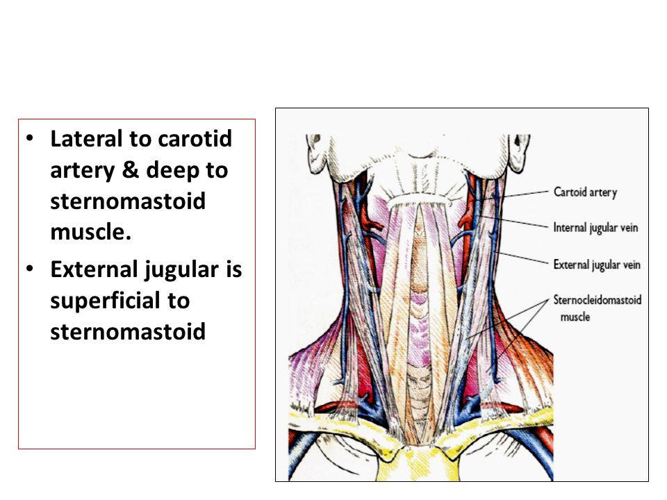 Enchanting Carotid Bulb Anatomy Elaboration - Anatomy And Physiology ...