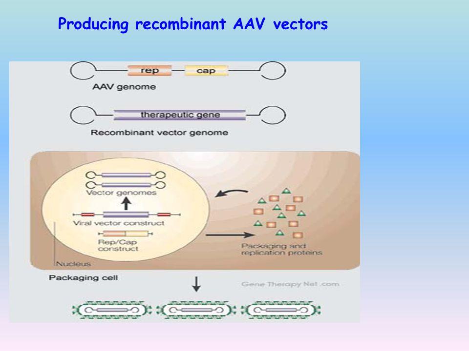 Producing recombinant AAV vectors