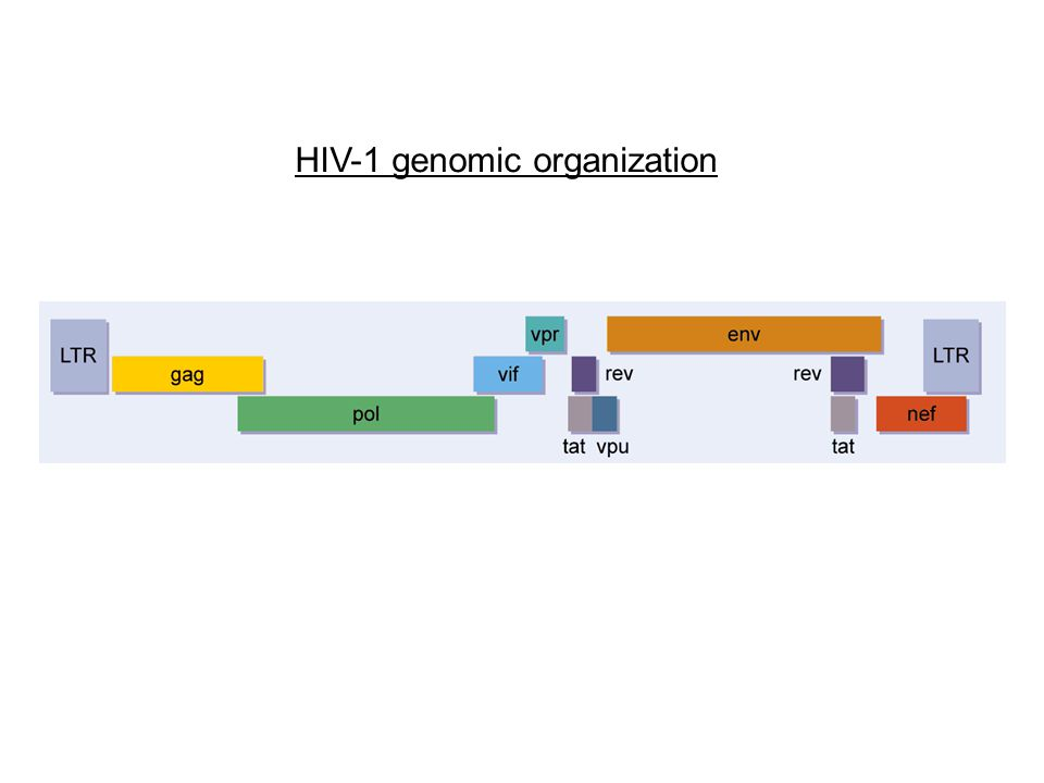 HIV-1 genomic organization