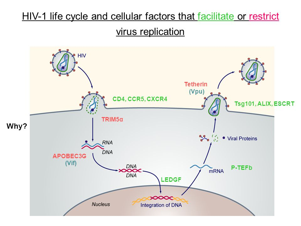 HIV-1 life cycle and cellular factors that facilitate or restrict virus replication