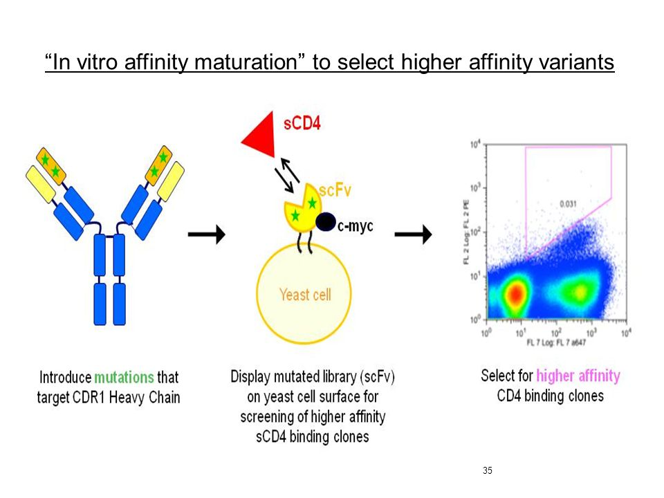 In vitro affinity maturation to select higher affinity variants