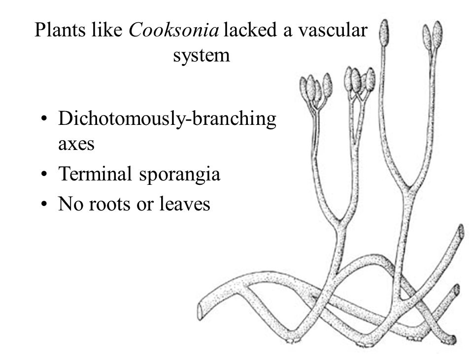 Plants like Cooksonia lacked a vascular system