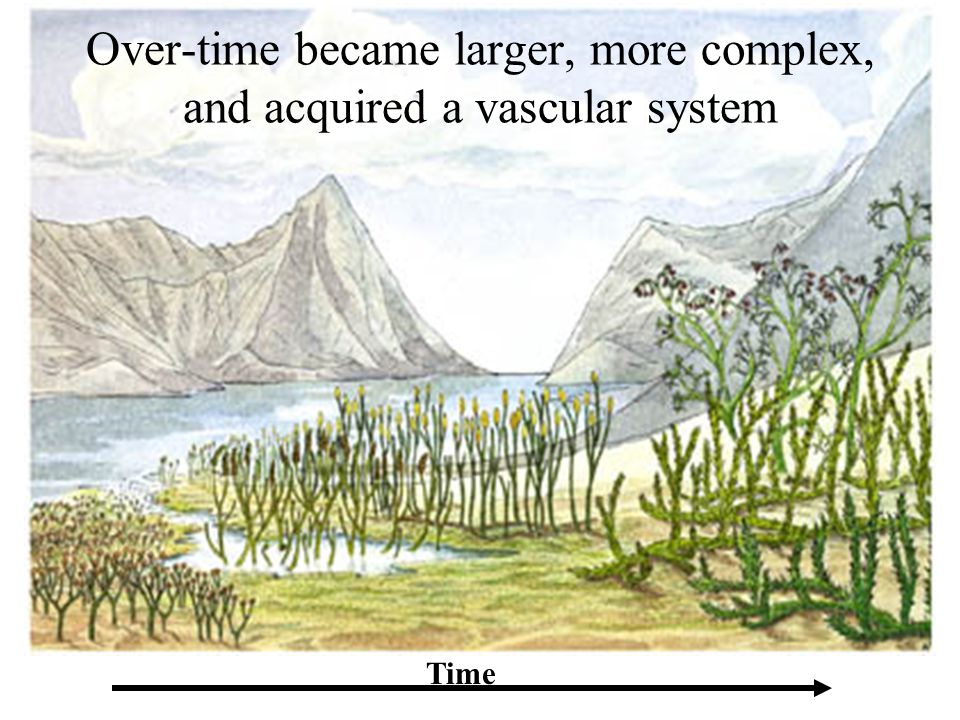Over-time became larger, more complex, and acquired a vascular system