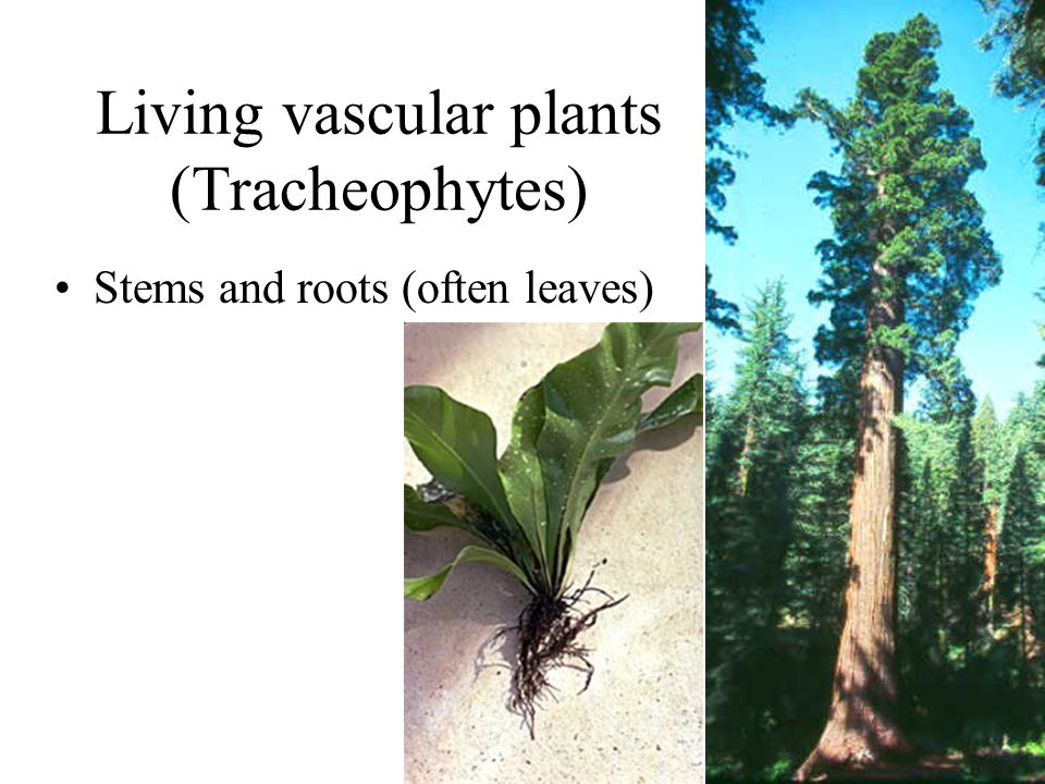 Living vascular plants (Tracheophytes)
