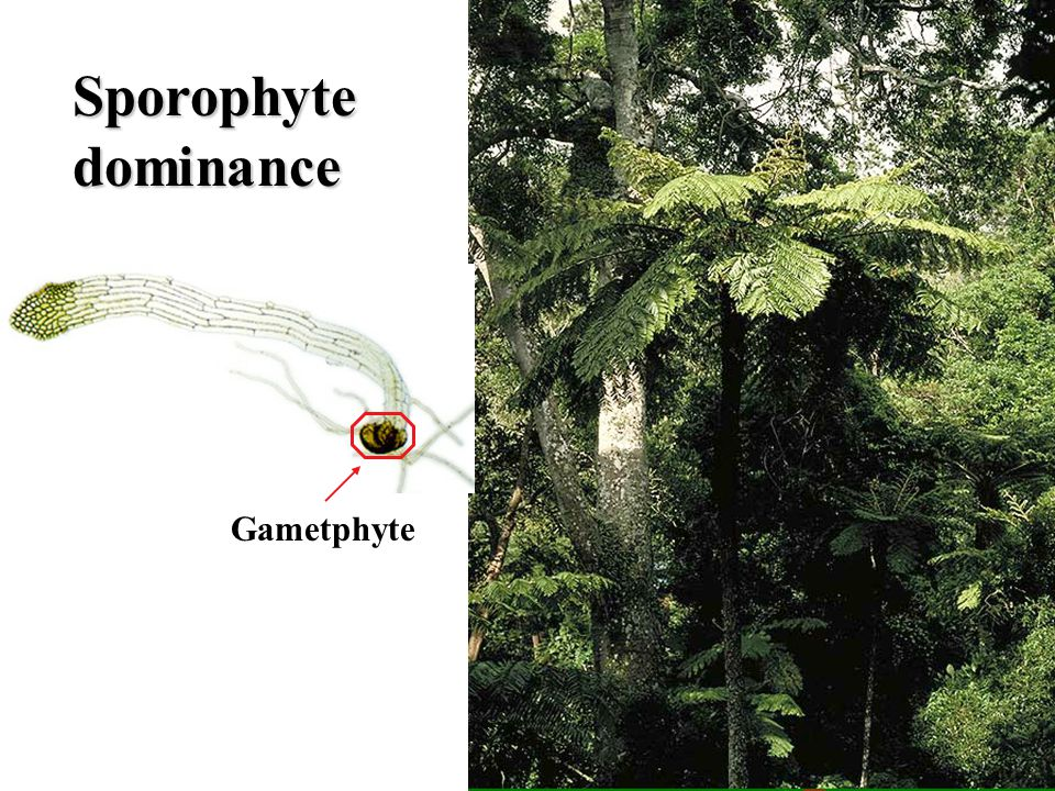 Sporophyte dominance Gametphyte Tree fern