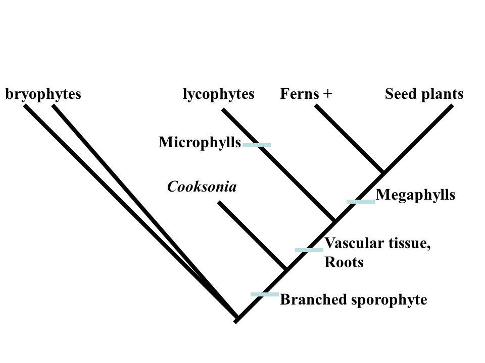 Vascular plant phylogeny