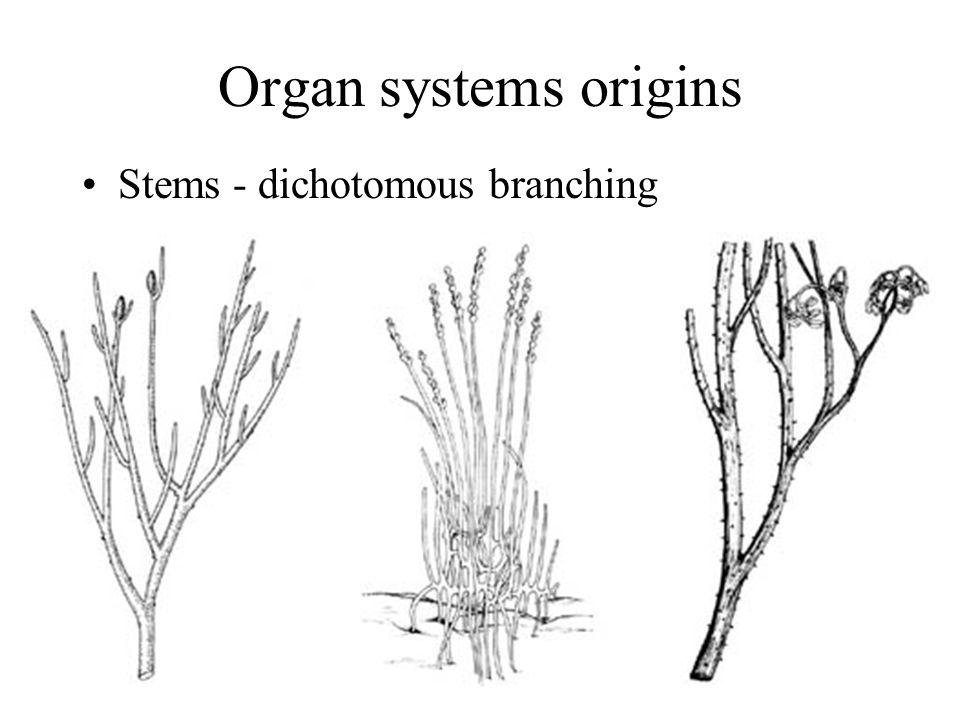 Organ systems origins Stems - dichotomous branching