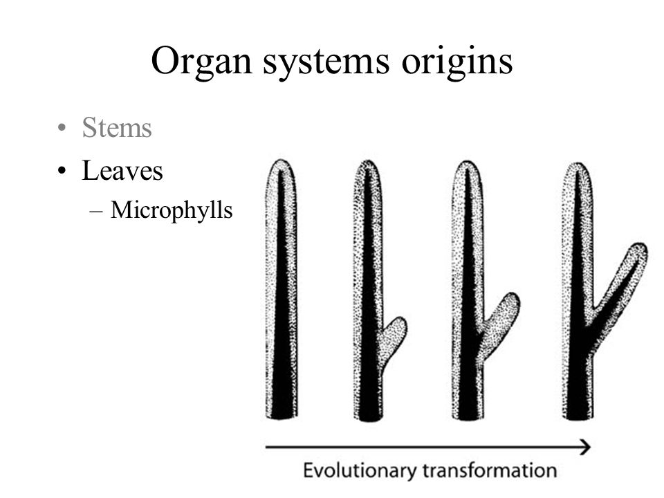 Organ systems origins Stems Leaves Microphylls