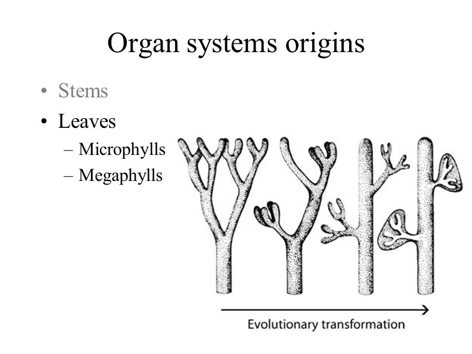 Organ systems origins Stems Leaves Microphylls Megaphylls