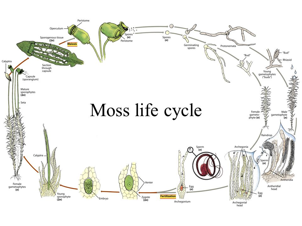 Moss life cycle