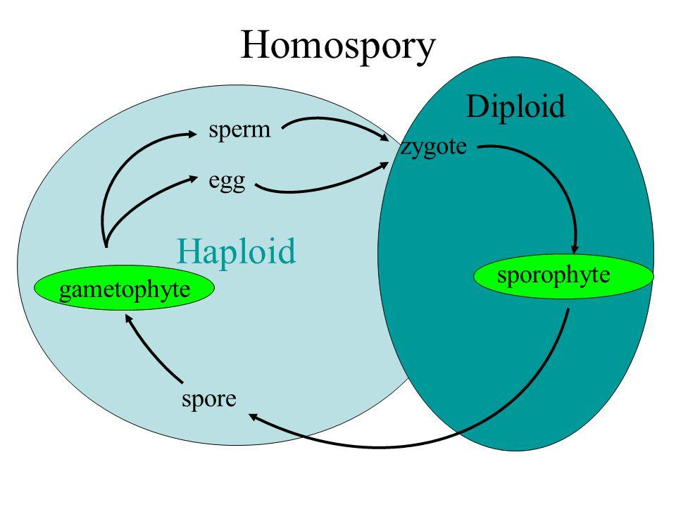 Homospory Haploid Diploid sperm zygote egg sporophyte gametophyte