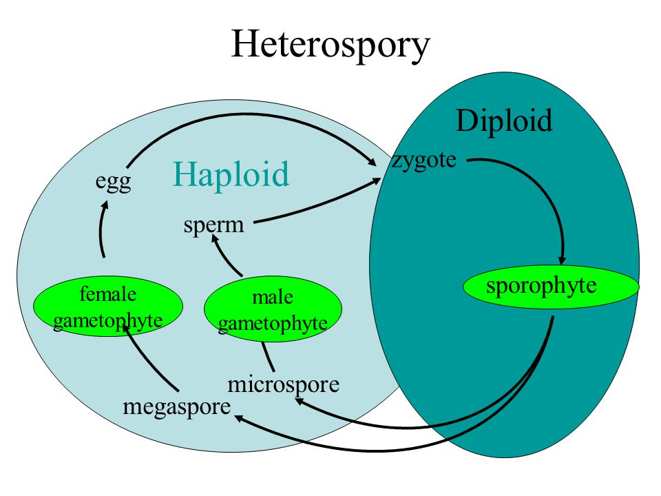 Heterospory Haploid Diploid zygote egg sperm sporophyte microspore