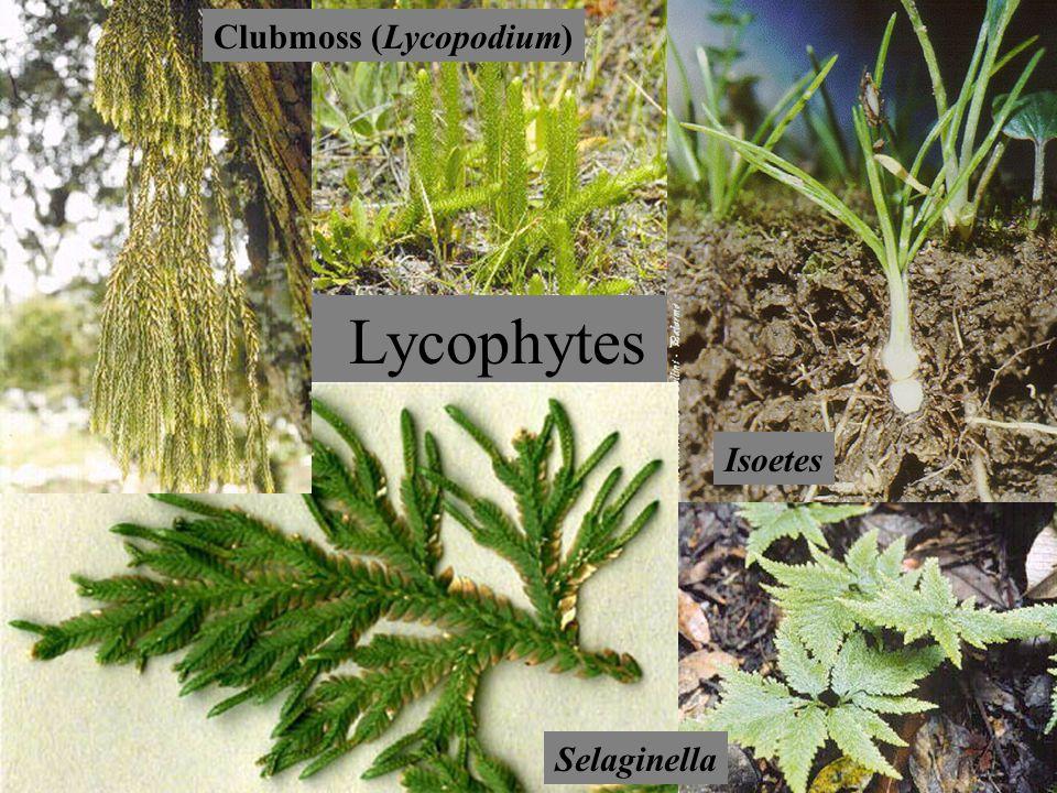 Lycophytes Lycopodium Selaginella Clubmoss (Lycopodium) Isoetes