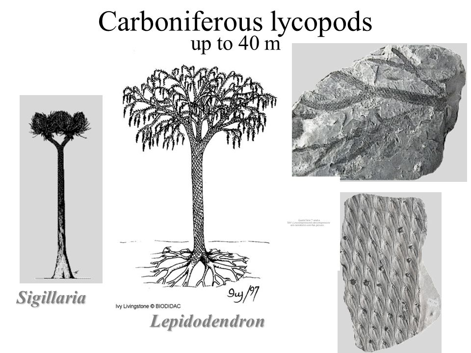 Carboniferous lycopods up to 40 m