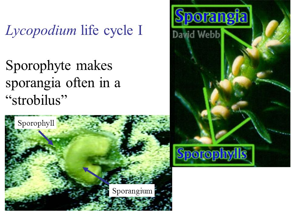 Lycopodium life cycle I