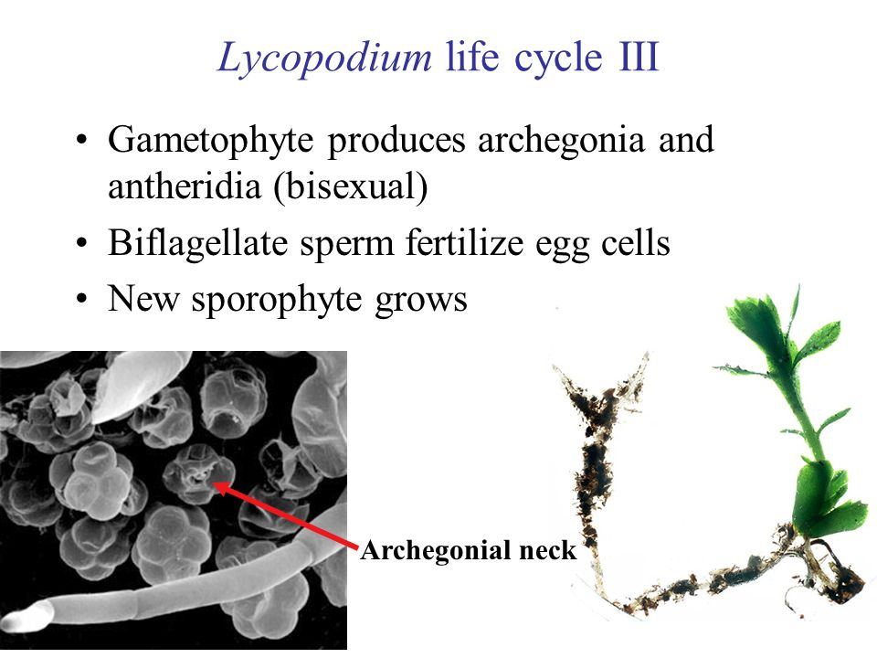 Lycopodium life cycle III