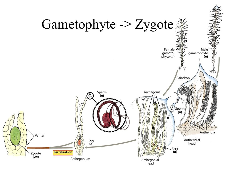 Gametophyte -> Zygote