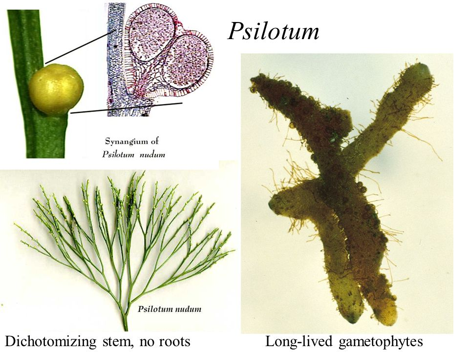 Psilotum Dichotomizing stem, no roots Long-lived gametophytes