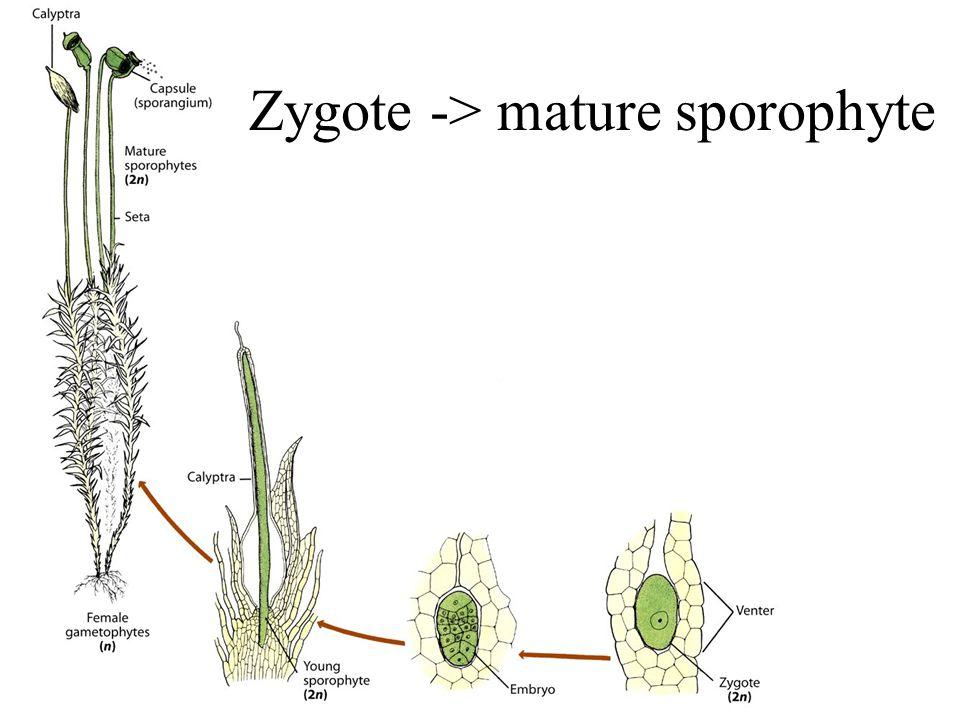 Zygote -> mature sporophyte