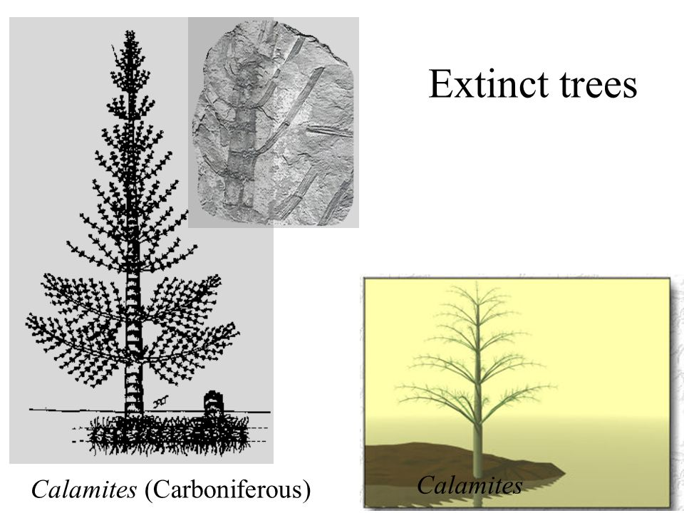 Extinct trees Calamites (Carboniferous) Calamites