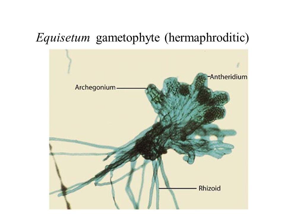 Equisetum gametophyte (hermaphroditic)