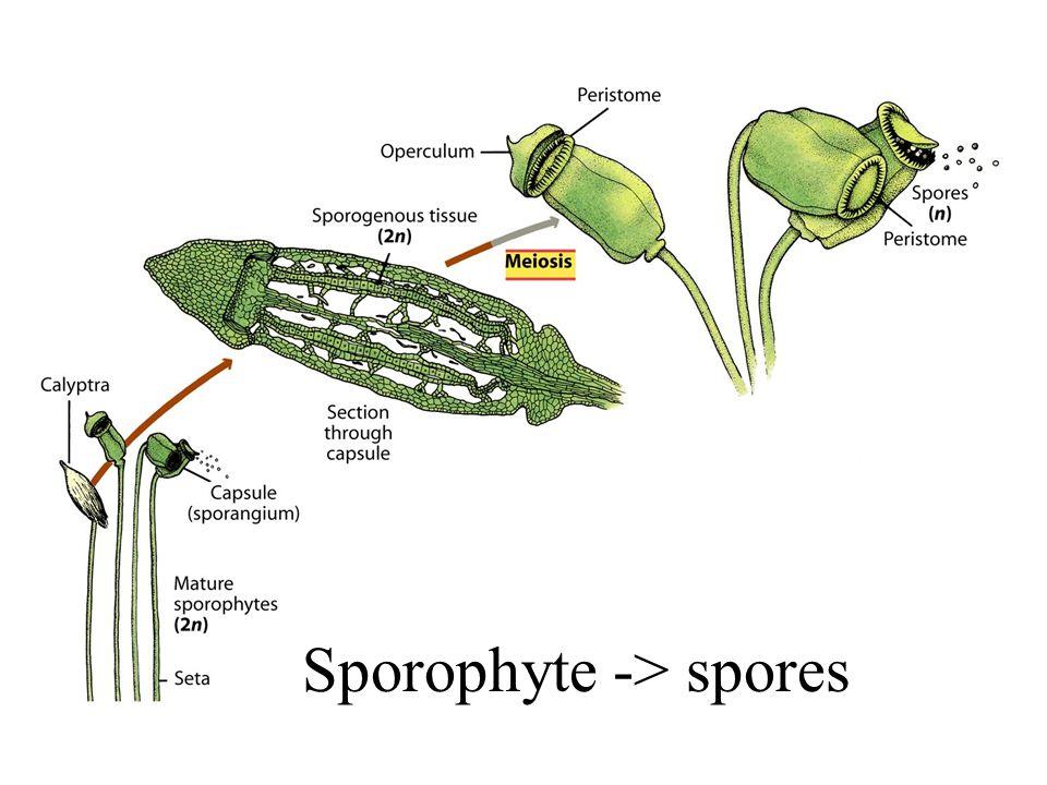 Sporophyte -> spores