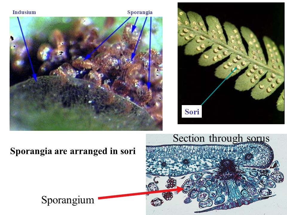 Section through sorus Sporangium Sporangia are arranged in sori Sori