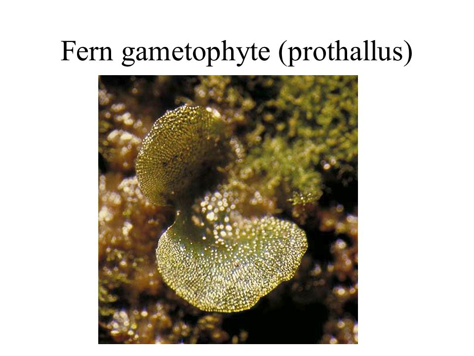 Fern gametophyte (prothallus)