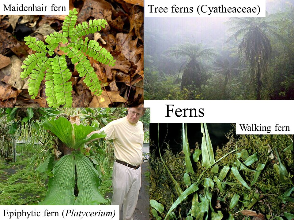 Ferns Tree ferns (Cyatheaceae) Maidenhair fern Walking fern