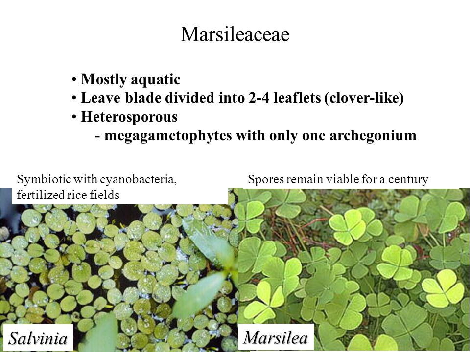 Marsileaceae Salvinia Marsilea Mostly aquatic