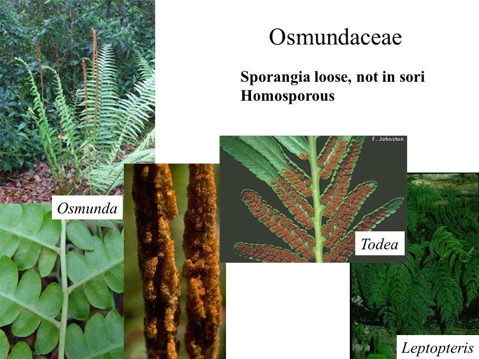Osmundaceae Sporangia loose, not in sori Homosporous Osmunda Todea