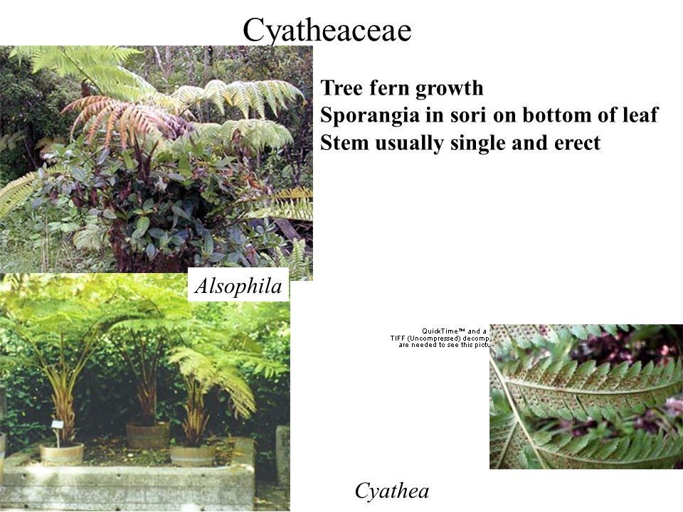 Cyatheaceae Tree fern growth Sporangia in sori on bottom of leaf