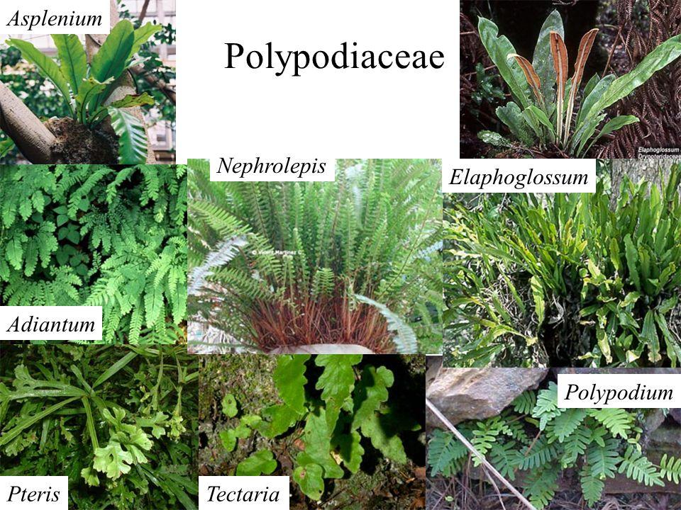Polypodiaceae Asplenium Nephrolepis Elaphoglossum Adiantum Polypodium