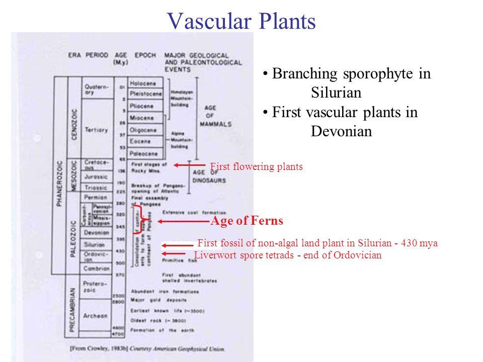 Vascular Plants Branching sporophyte in Silurian