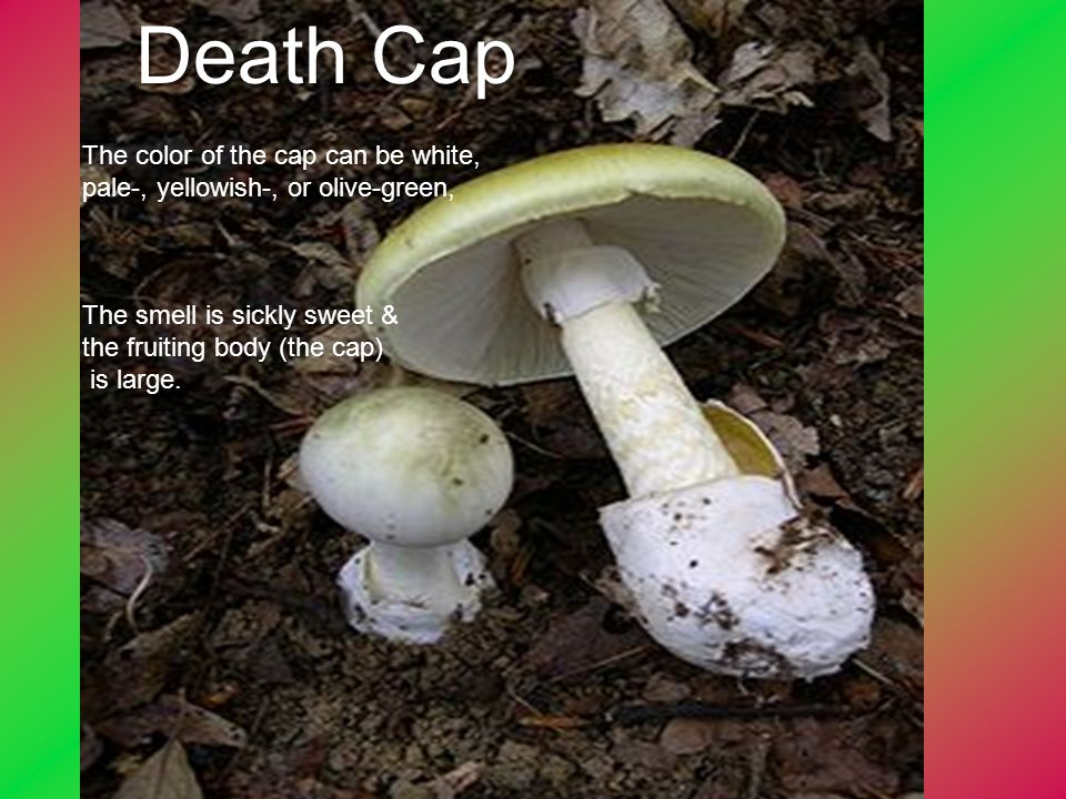 Death Cap The color of the cap can be white, pale-, yellowish-, or olive-green, The smell is sickly sweet &