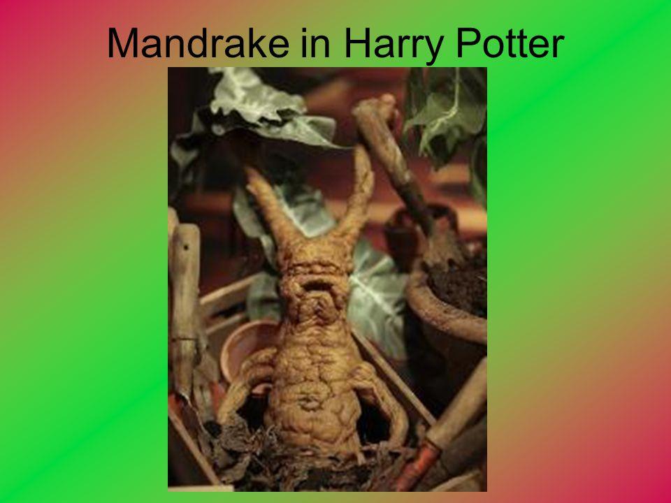 Mandrake in Harry Potter