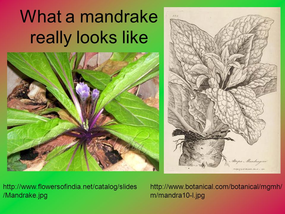 What a mandrake really looks like
