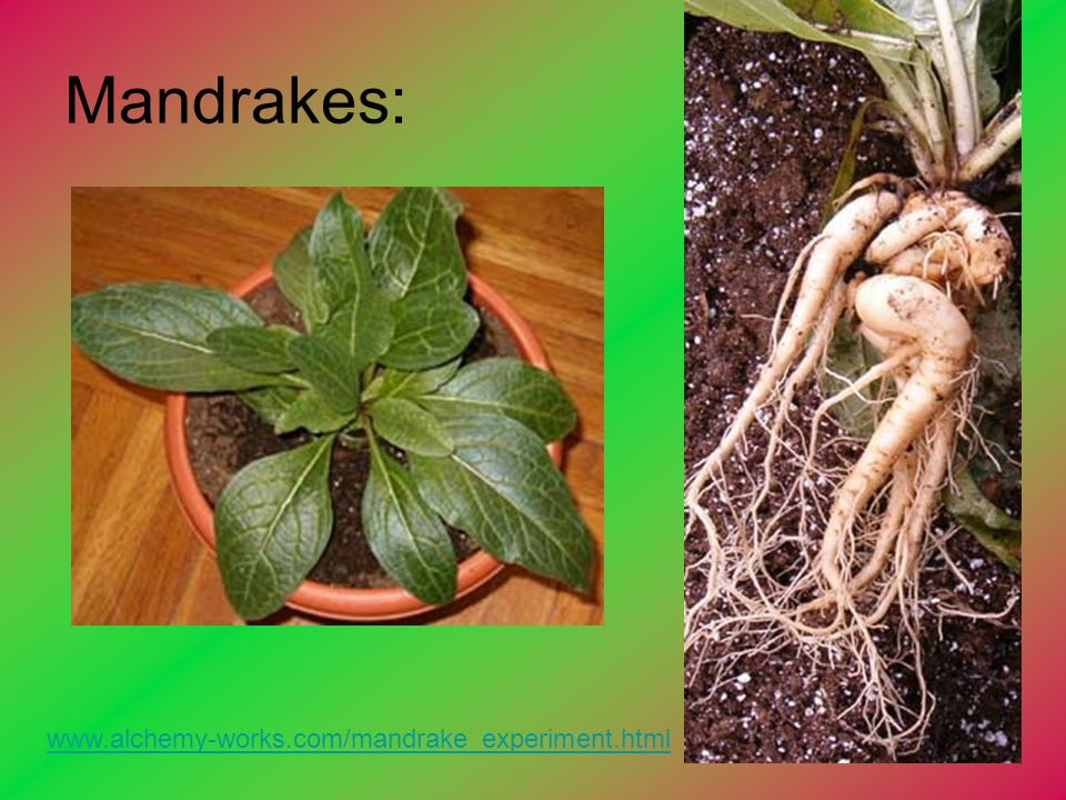 Mandrakes: www.alchemy-works.com/mandrake_experiment.html