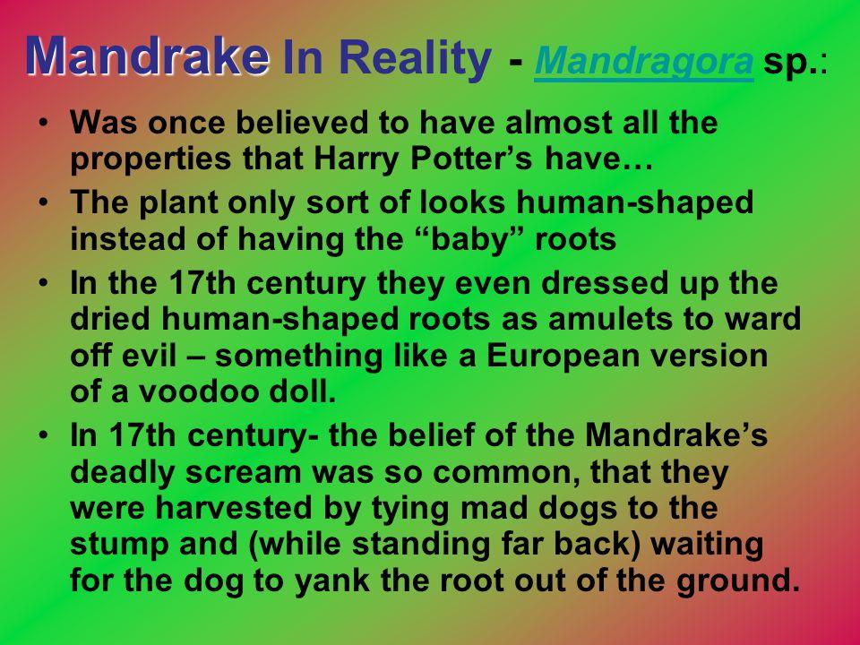 Mandrake In Reality - Mandragora sp.: