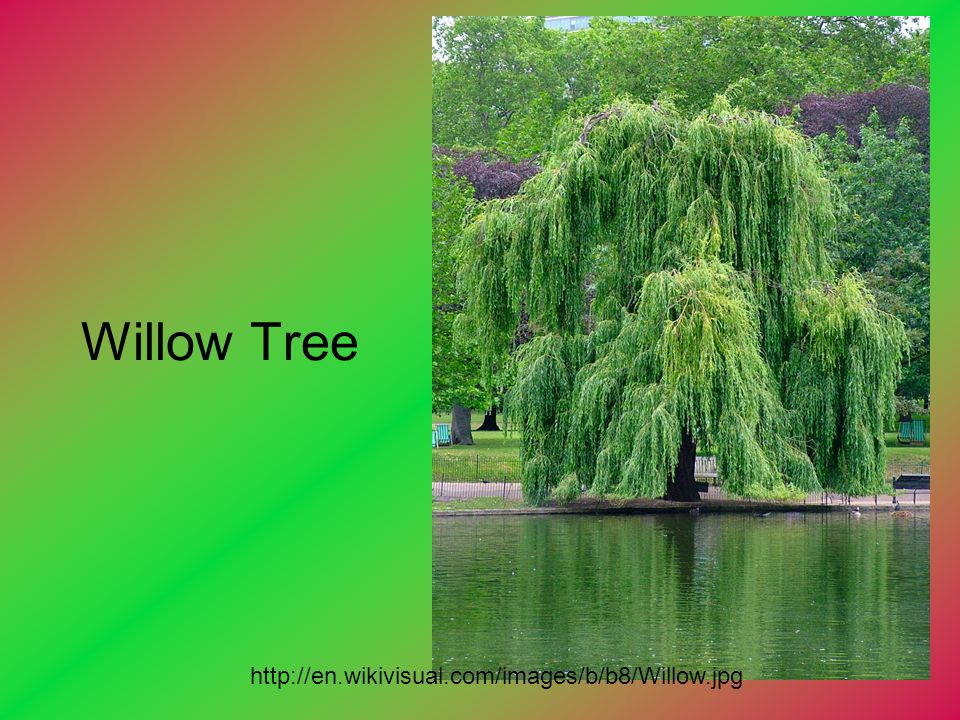 Willow Tree http://en.wikivisual.com/images/b/b8/Willow.jpg