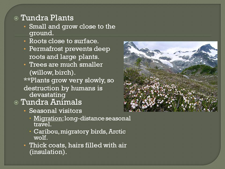 Tundra Plants Tundra Animals Small and grow close to the ground.