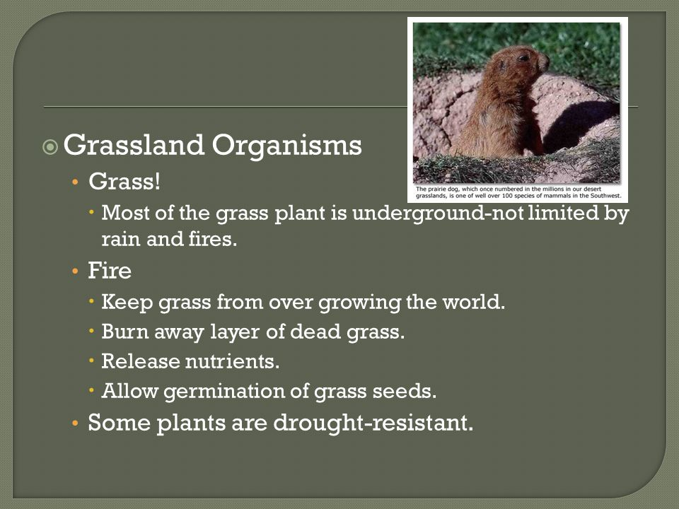 Grassland Organisms Grass! Fire Some plants are drought-resistant.