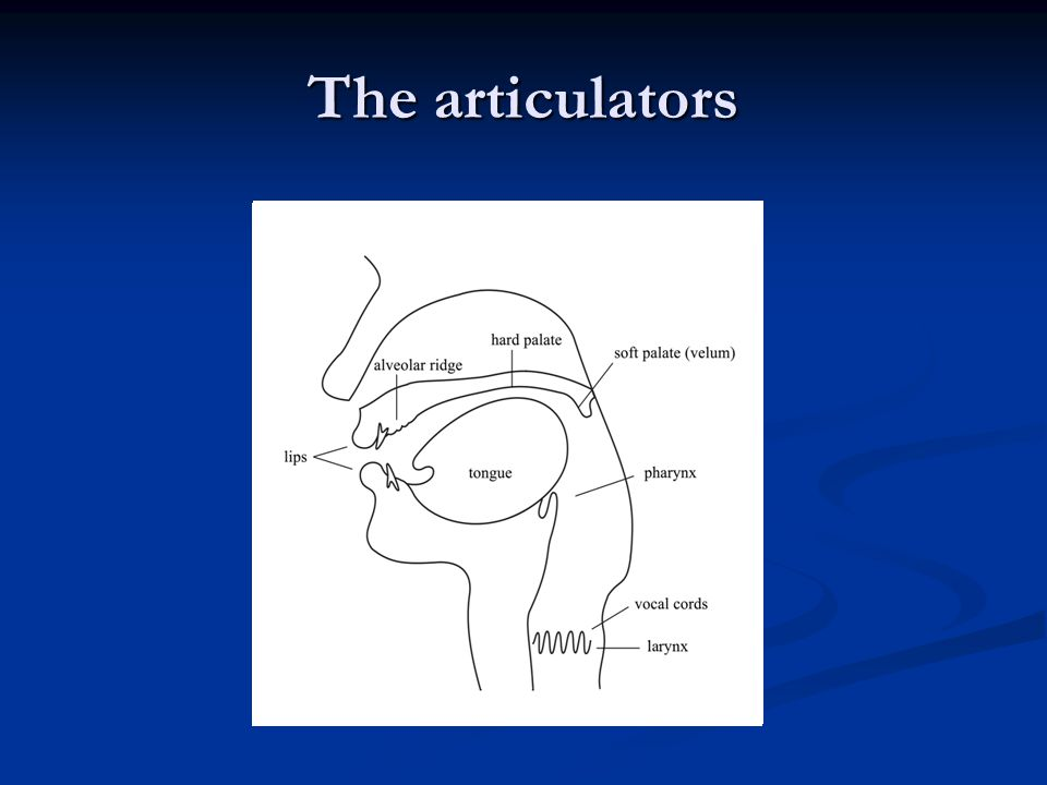 The articulators