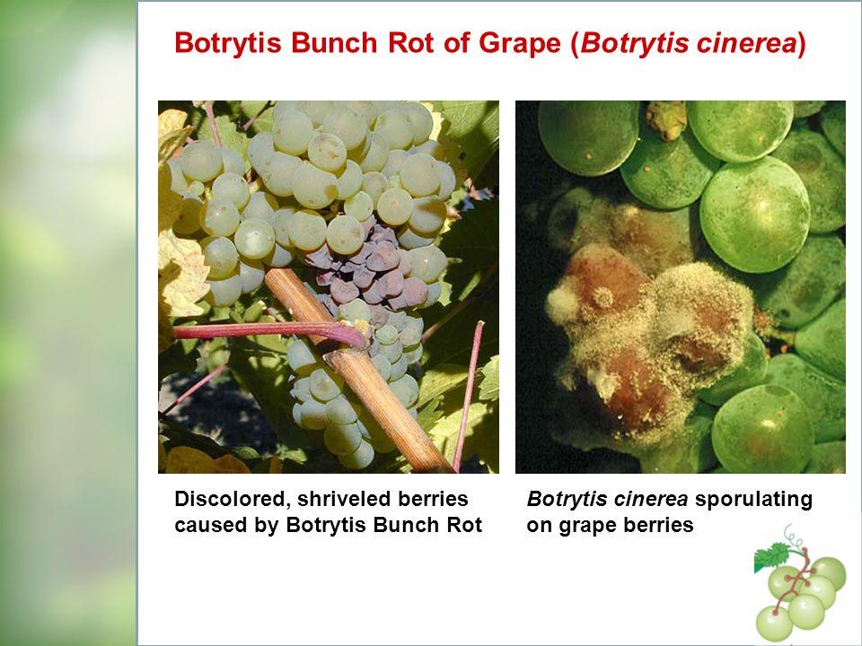 Botrytis Bunch Rot of Grape (Botrytis cinerea)