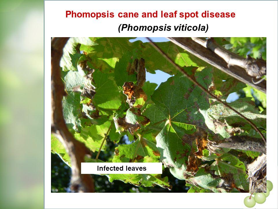Phomopsis cane and leaf spot disease (Phomopsis viticola)