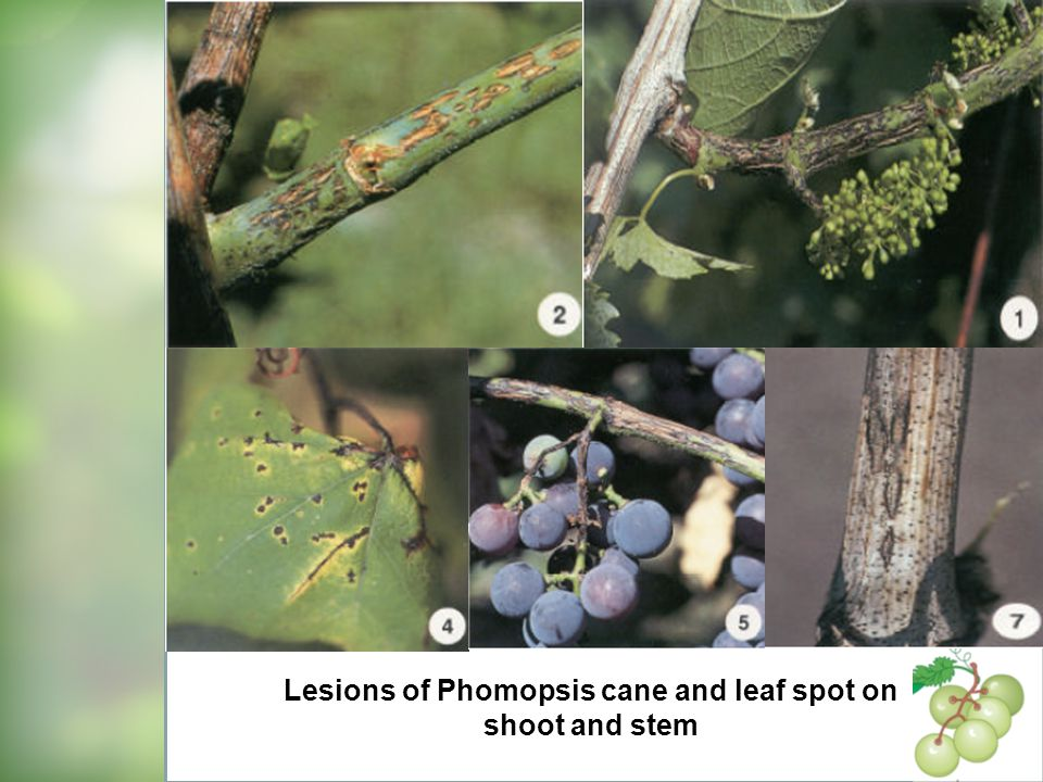 Lesions of Phomopsis cane and leaf spot on shoot and stem
