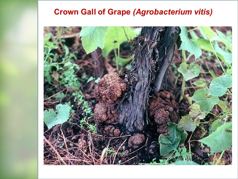 Crown Gall of Grape (Agrobacterium vitis)